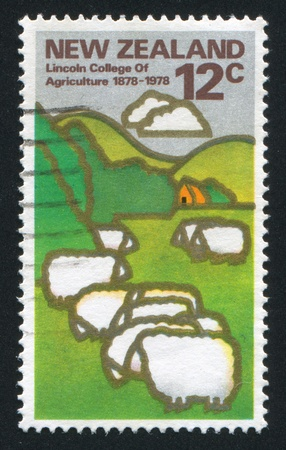 NEW ZEALAND - CIRCA 1978: stamp printed by New Zealand, shows grazing sheep, circa 1978