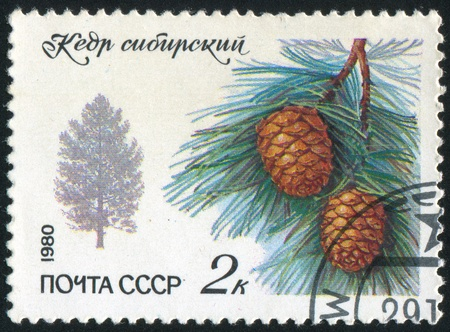 siberian pine: RUSSIA - CIRCA 1980: stamp printed by Russia, shows Siberian Pine, circa 1980 Stock Photo
