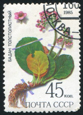 phytology: RUSSIA - CIRCA 1985: stamp printed by Russia, shows Leather bergenia, circa 1985