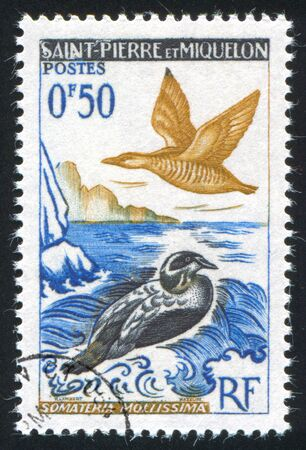 pierre: SAINT PIERRE AND MIQUELON - CIRCA 1962: stamp printed by Saint Pierre and Miquelon, shows Eider Ducks, circa 1962