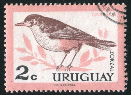 bellied: URUGUAY - CIRCA 1963: stamp printed by Uruguay, shows Rufous bellied Thrush, circa 1963
