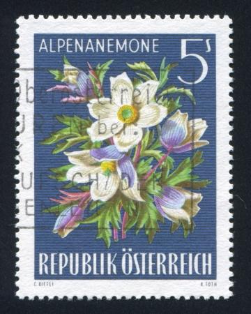 AUSTRIA - CIRCA 1966: stamp printed by Austria, shows Pasqueflower, circa 1966 Stock Photo - 18329691