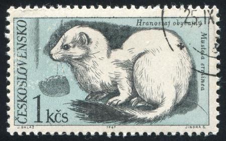 gronostaj: Czechosłowacja - OKOŁO 1967: pieczęć drukowane przez Czechosłowacji, pokazuje, gronostaj, ok. 1967 Publikacyjne