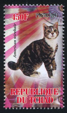 wirehair: CHAD - CIRCA 2013: stamp printed by Chad, shows cat, american wirehair, circa 2013