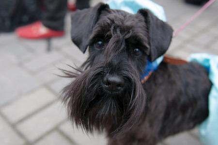 miniature breed: El Schnauzer miniatura es una raza de perro peque�o del tipo Schnauzer. Foto de archivo