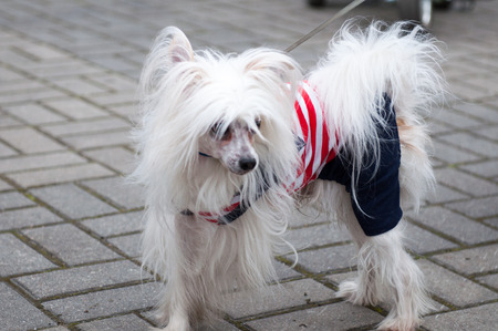 groomed: Groomed Chinese Crested Dog  - Powderpuff, three years month old. Stock Photo