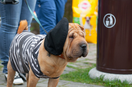 sharpei: The Shar Pei, is a breed of dog known for its distinctive features of deep wrinkles and a blue-black tongue.