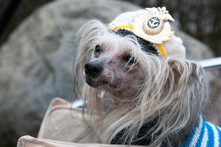 lapdog: Groomed Chinese Crested Dog  - Powderpuff, three years month old. Stock Photo