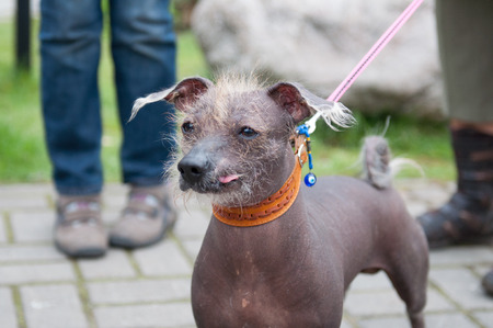hairless: Dog show. The Xoloitzcuintle or Xolo for short, is a hairless breed of dog.