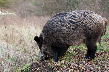 to spit: Wild pigs in the national park the Curonian Spit. Russian. Kaliningrad Oblast. Stock Photo