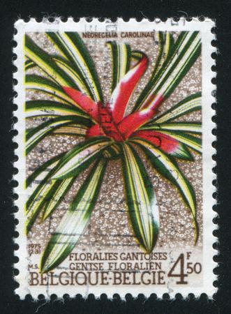 neoregelia: RUSSIA KALININGRAD, 20 OCTOBER 2015: stamp printed by Belgium, shows Neoregelia carolinae, circa 1975