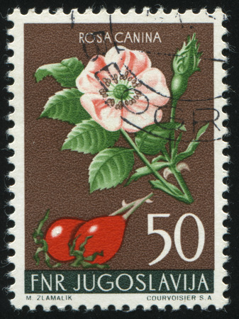 postmark: RUSSIA KALININGRAD, 12 NOVEMBER 2016: stamp printed by Yugoslavia, shows Dog Rose, circa 1955