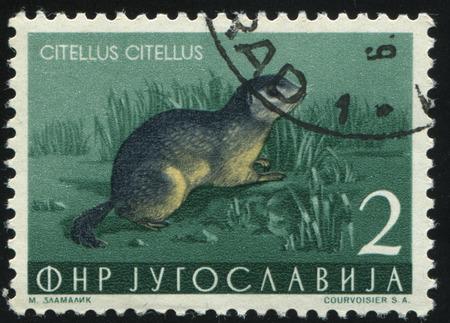 러시아 칼리닌그라드, 2011 년 11 월 12 일 : 스탬프 유고 슬라비아, 쇼 지상 다람쥐, 1954 년경에 의해 인쇄