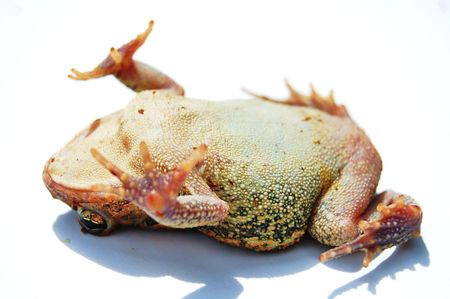 Toad playing dead on white background photo