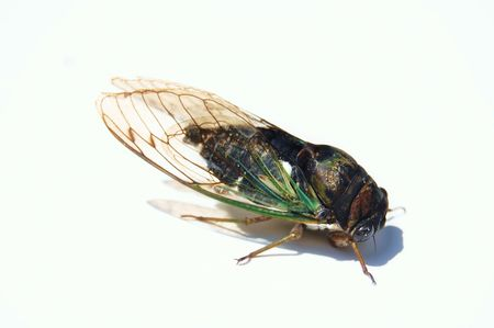 annually: Ugly noisy bug called cicada on white background