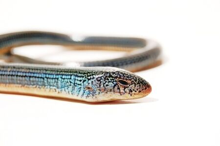 limbless: glass lizard on white background