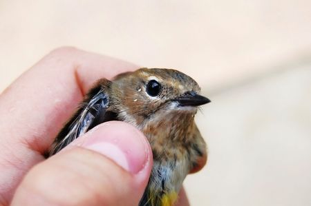 rescued: scared bird in human hand