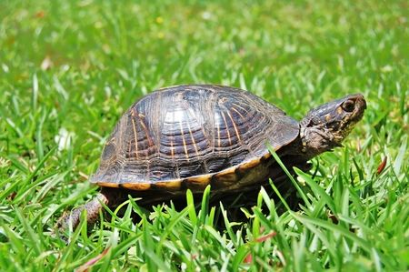 turtle in green grass Stock Photo - 4800592