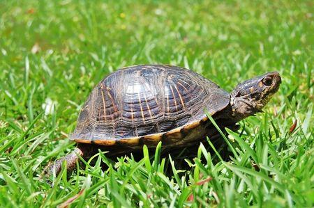 amphibians: turtle in green grass