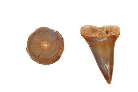 extinct: Isolated rare extinct mako shark vertebra and tooth on white background