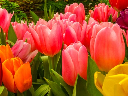 Colorful of Tulips show indoor flower  exhibition photo