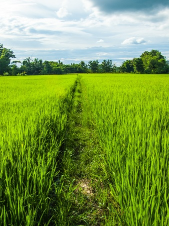 agriculturalist: Footpath in a field with green rice and sky