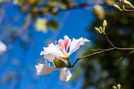 seres vivos: Flor de la orqu�dea blanca �rbol Bauhinia Variegata, Tailandia