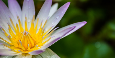 dewdrop: Colorful of lotus pollen and dewdrop on lotus Stock Photo