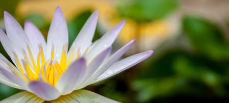 limbo: Colorful of lotus pollen and dewdrop on lotus Stock Photo