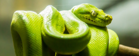 characterized: The green tree python is characterized by a relatively slim body.
