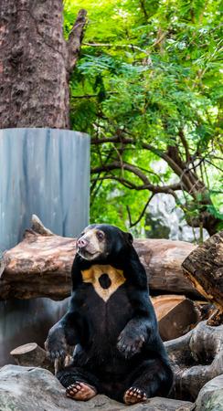 banter: Malayan sun bear in zoo at Thailand Stock Photo