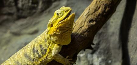 bearded dragon lizard: The name Stock Photo