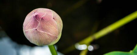 lotiform: Lotus bud is beautiful colors.