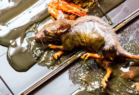 entrap: Rats caught in glue traps