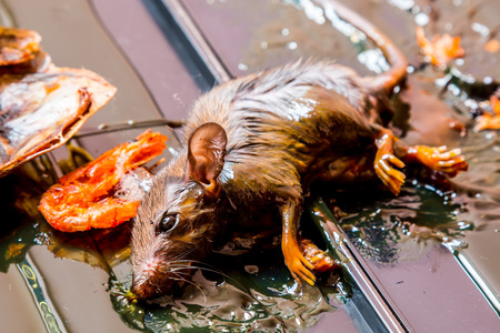 traps: Rats caught in glue traps