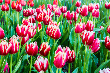 dewdrop: Colorful tulips in garden with dewdrop. Stock Photo