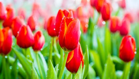 dewdrop: Beautiful bouquet of tulips with dewdrop in garden.