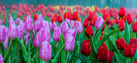 dewdrop: beautiful bouquet of tulips with dewdrop and spider web.