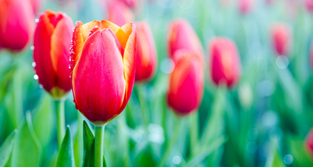 dewdrop: Beautiful bouquet of tulips with dewdrop and blur background.