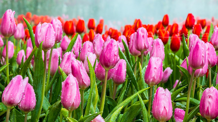 dewdrop: Beautiful bouquet of tulips with dewdrop and spider web. Stock Photo