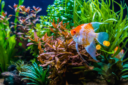 tropical tank: Angelfish in the tropical fish tank.