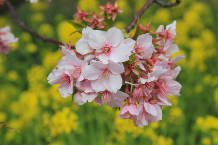 early blossoms: Early pink cherry blossoms in Kawazu Stock Photo