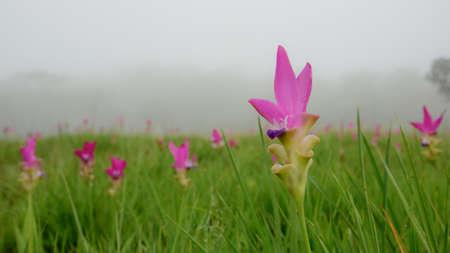 siam: Siam tulips in the mist