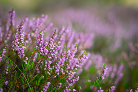 Blooming heather in the summer forest, DOF Фото со стока