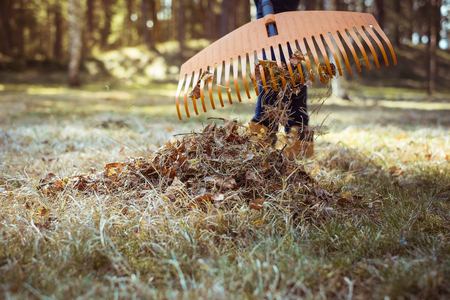 Removal of dry autumn leaves by rake