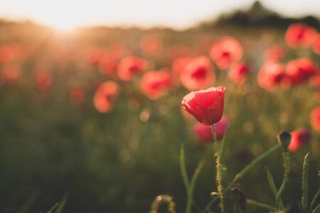 contryside: Background. Red, wild poppies in the meadow at sunset