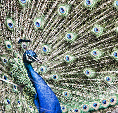 fanned: Portrait of peacock LANG_EVOIMAGES