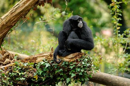 Siamang Gibbon sitting on log  LANG_EVOIMAGES