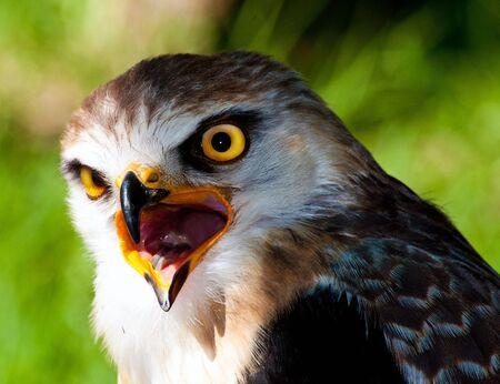 Mpumalanga, South Africa, Black Shouldered Kite LANG_EVOIMAGES