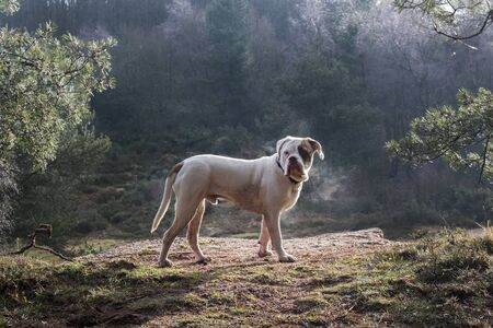 UK, England, West Midlands, Stoke-on-Trent, Old Tyme Bulldog at Park Hall in morning sunlight LANG_EVOIMAGES
